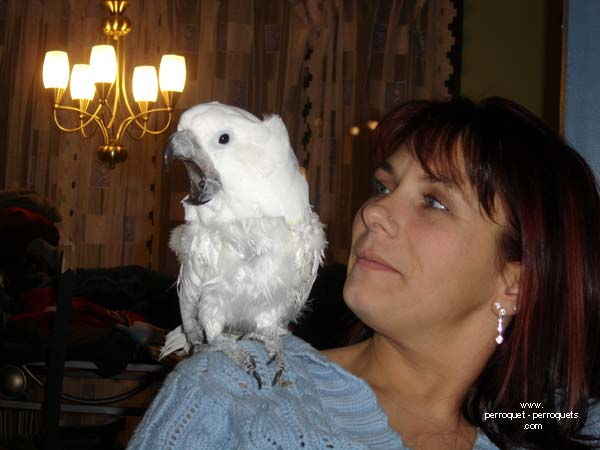 If his wings are trimmed, the parrot will request a taxi to move around the house.
