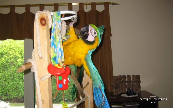 The parrot screams sporadictly, but it is most of the time a normal behaviour.