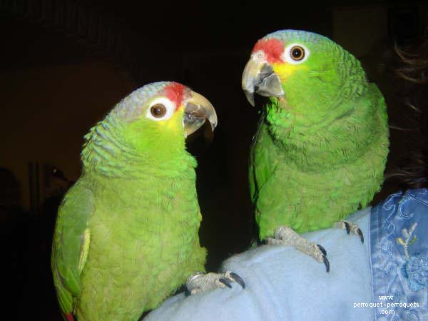 Parrots from the America, as a general rule, adapt easily to other specie.