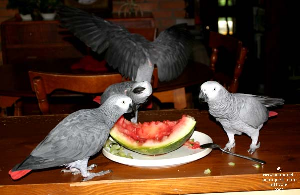 African Greys, monospecific, tend to stick with those of their own species.